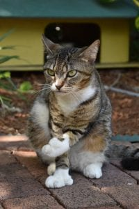 A photo of a cat at the Ernest Hemingway House in Key West.